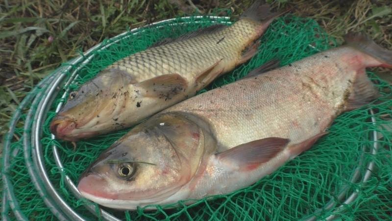 Рецепт быстрого приготовления технопланктона . Ловля карпа и толстолоба. My fishing