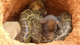 Brave Boys Found Three Baby Wild Dog Home In The Cave That Lose Their Mum How to Feed Wild Dogs