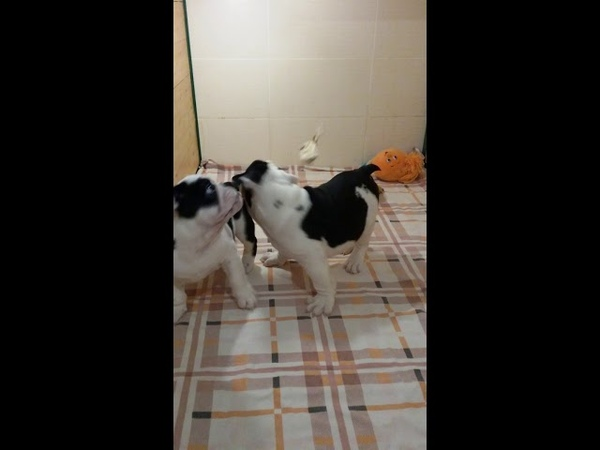 Английский Бульдог щенки мальчики чёрный триколор.Rare color bulldog puppies