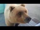 Медведь пришёл на базу Медведи в России
