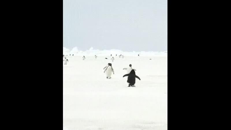 Пингвины выглядят так, как будто они бегут обниматься.