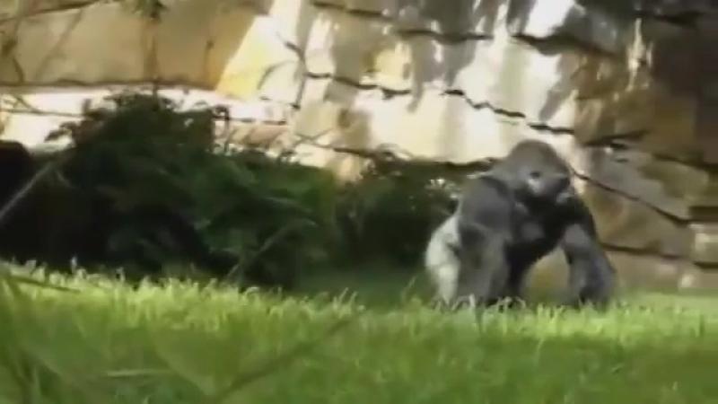 Огромная горилла отвечает на шум строителей