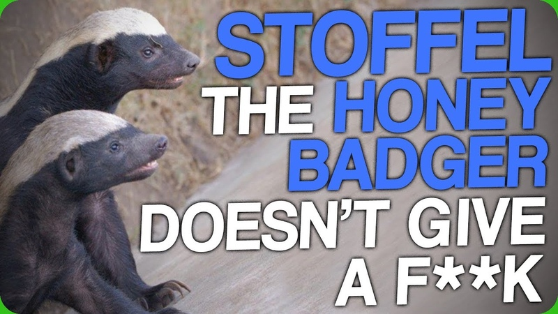 Stoffel the Honey Badger Doesn't Give a F**k
