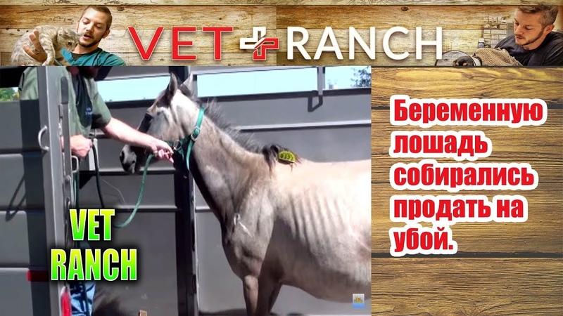 Vet Ranch на русском - Беременную лошадь собирались продать на убой / Pregnant Horse Rescued