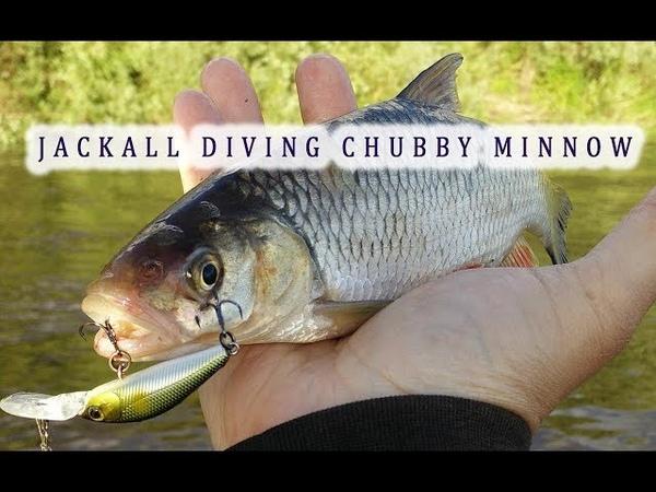 Ловля голавля, судака и окуня на воблер Jackall Diving Chubby Minnow