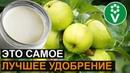 От ЭТОЙ подкормки яблони будут ломиться от урожая Подкормка яблони дрожжами