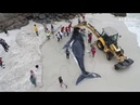 Сотни добровольцев самоотверженно спасали кита выбросившегося на берег в Бразилии