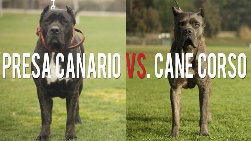 PRESA CANARIO VS. CANE CORSO IN A BATTLE OF THE ULTIMATE CATCH DOGS
