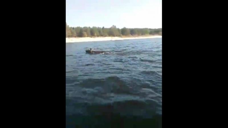 Смотреть до конца!Лось переплывает Волгу с Чувашского берега на Семеновский остров.