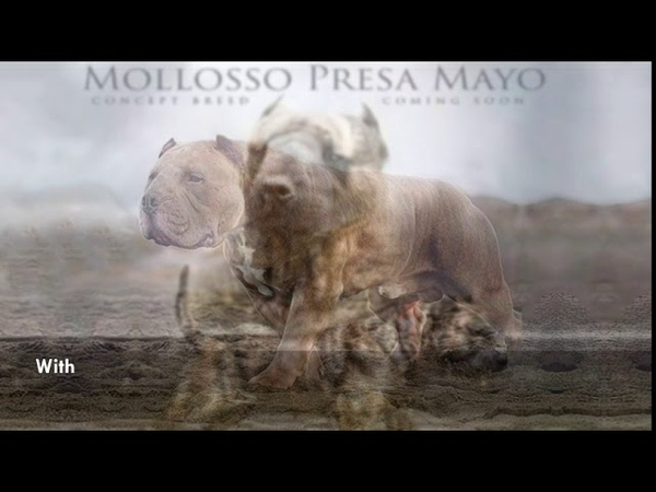 Molosso Presa Mayo - Concept breed idea for powerful dog.