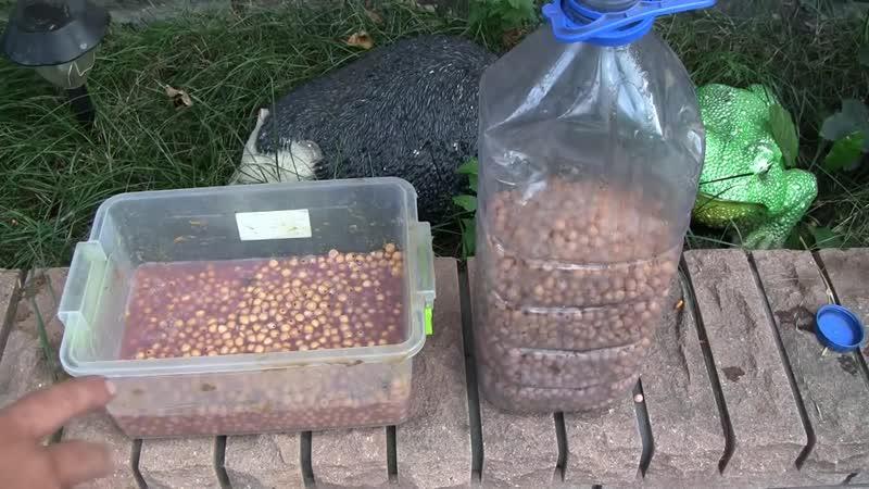 Ферментация кукурузы и хмельной горох для рыбалки (Дневник рыболова)