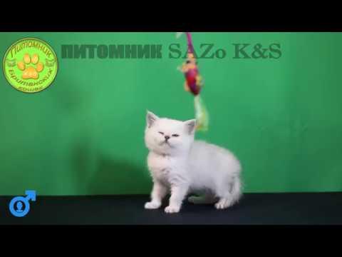 Йоди серебристый британский кот слаткий мурлыка