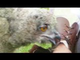 The Worlds Cutest Baby Owl Video