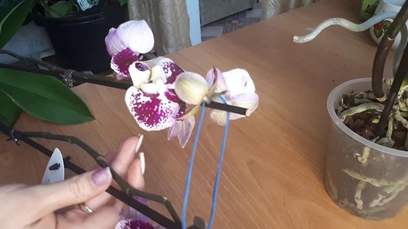 РЕАНИМАЦИЯ ОРХИДЕЙ орхидея без корней как посадить