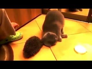 Кот нашел применение ежу.