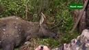 Охота на лося на гону