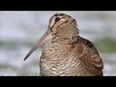 Çulluk Woodcock, ViraaV