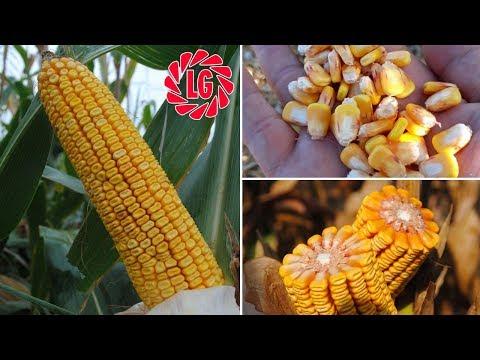Мощная кормовая кукуруза САНСИЯ после одного полива (28-06-2018)