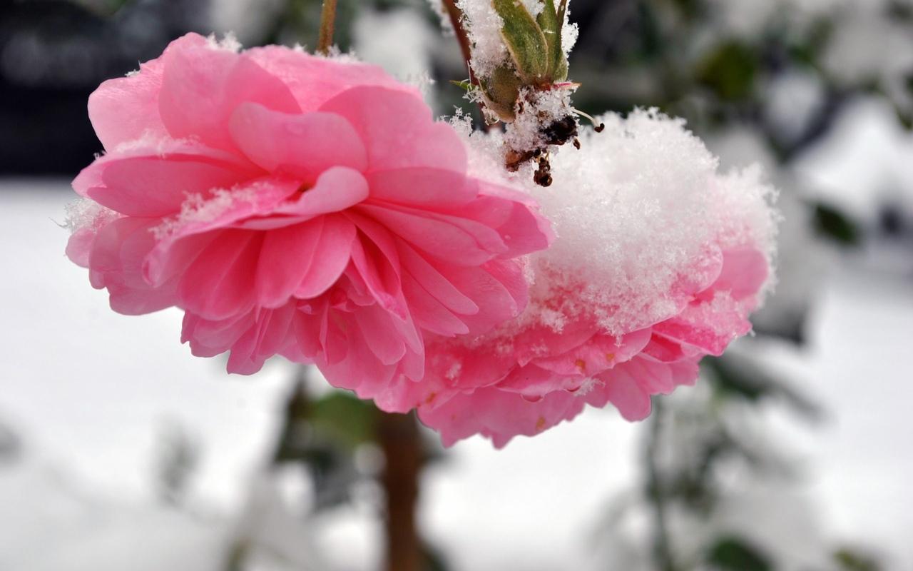 Александру днем, картинки цветы в снегу