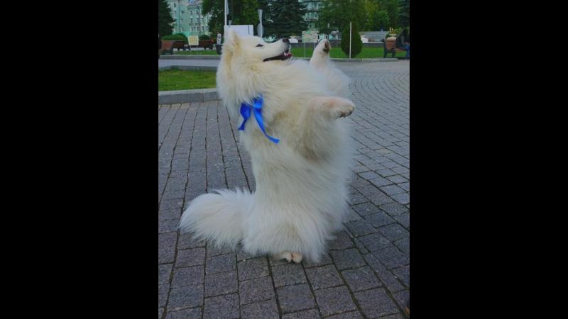 Фото сессия с Максимусом самоедская собака