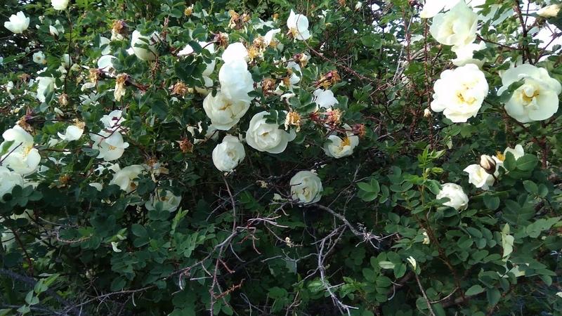 Дикая белая роза