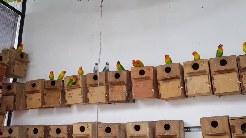 Lovebird farms in Indonesia ( Agapornis )