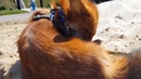 Tiki the fox is grooming her fur (Day 466)