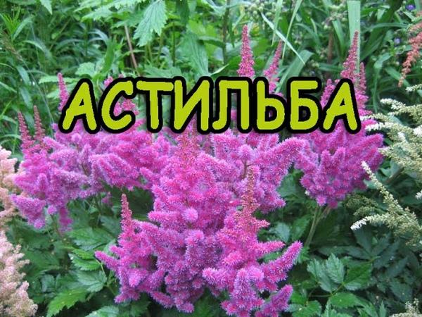 ЦВЕТЫ АСТИЛЬБА. Astilbe flower