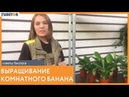 Выращивание комнатного банана Рекомендации от биолога 7ЦВЕТОВ
