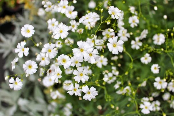 ГИПСОФИЛА Гипсофила, Гипсолюбка, или Качим (Gypsophila) род растений из семейства Гвоздичные (Caryophyllaceae), насчитывающий более 100 видов. Это однолетние и многолетние травянистые растения,