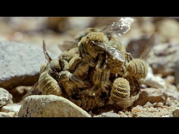 Birds' Feast on Bee Swarm   BBC Earth