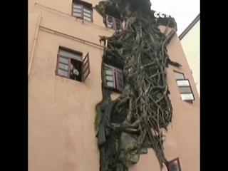 В городе Гуанчжоу гигантский фикус растет у стен четырехэтажного жилого дома