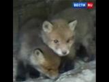 В Центр реабилитации диких животных передали на воспитание пятерых осиротевших лисят