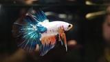 Male Blue Orange Halfmoon