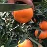 Yemek Aşığı Bir Adam on Instagram O kadar mandalina gördüm yedim böylesini ilk defa görüyorum Mandalin değil sanki mandalin suyu musluğu mübare