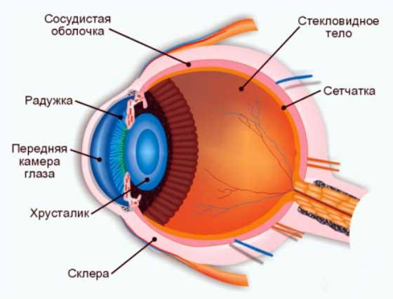 Анатомия человеческого глаза.