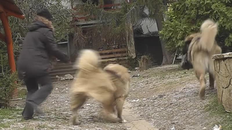 Кавказские собаки (Мирко, Бони, Мати) - happy days