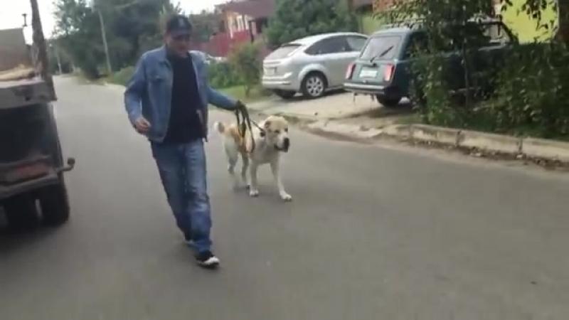 Бурная реакция на собак: один из способов как отучить реагировать на собак(Алабай Ермак)