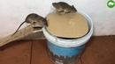 PVC Water Bottle Mouse Trap/DIY make A Mouse Trap Homemade/Mouse Reject/Idea Mouse Trap