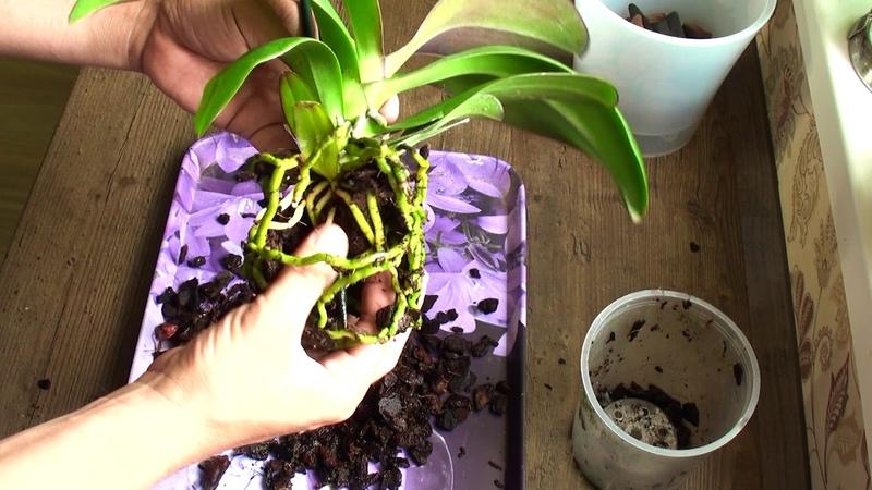 ОРХИДЕЯ СГНИЕТ если это не убрать пересадка уцененной орхидеи Фронтеры за 199 руб