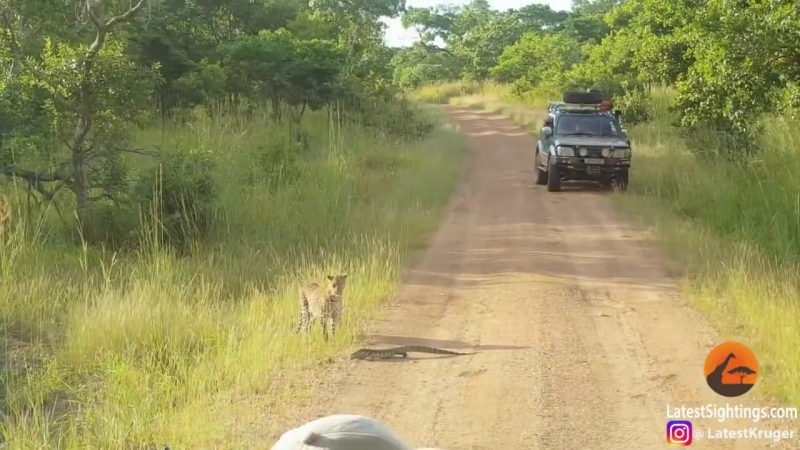 Леопард и ящерица тактика защиты