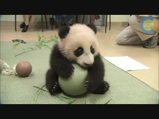 Очень милая панда с мячиком (Very cute panda with a ball)2