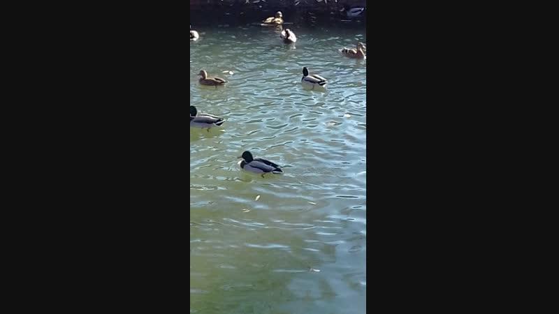 пруд утки