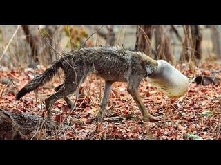Волк с баллоном на голове...Истощенный...Едва не свалился от голода...