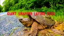 GIANT Snapper Laying Eggs