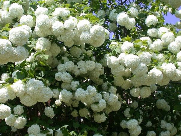 КАЛИНА БУЛЬДОНЕЖ Калина бульденеж декоративный сорт калины, который отличается обильным, пышным цветением. Название «снежок» необычайно подходит растению, ведь его цветы собраны в большие
