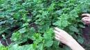 Выращивание огурцов. Формирование кустов