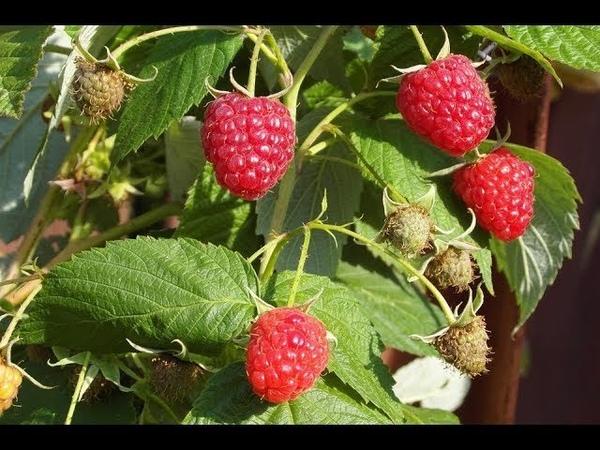 Во саду ли в огороде • Посадите Малину Этим Способом И Всегда Будете С Урожаем! Малина Осенью.
