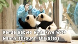 Panda Babies High Five With Nanny Through The Glass iPanda