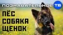 Почему СОБАКА, ПЁС, ЩЕНОК Познавательное ТВ, Артём Войтенков